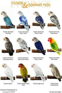African Lovebirds Mutations World famous, love birds and types of on pinterest