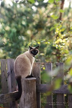 Pinterest 232 traditional siamese cats applehead for Siamese 9 electric motor