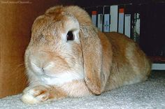 """With a bit of research and deduction, you can make an educated guess about the breed of a """"mystery"""" rabbit."""