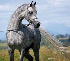 Chelleason Arabians and Training, Australia