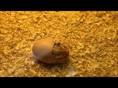 Nacimiento de un pollo (cámara rápida)