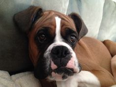 Charlie boxer dog looking a little sad.....or tired......or happy! So cute
