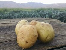 Potatoes: Kennebec (/lb)
