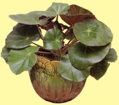 Begonia 'erythrophylla'