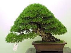 Why we decandle pine bonsai