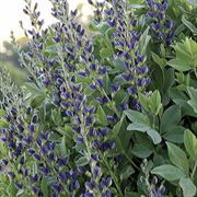 Indigo Spires False Indigo