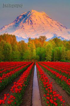 Mount Rainer And Tulips