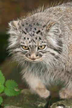 Pallas Cat - null