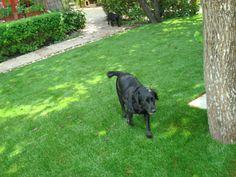 cesped artificial especial para jardines con mascotas #cesped_sintetico_mascotas