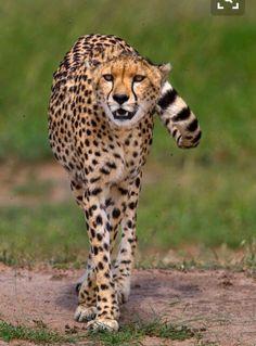 Perfect predator #beautiful #bigcats #cheetah #conservation   follow @sophieeleana