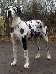 dog great  danish german | Dog DNA Test - Dog Breed Testing - Great Dane