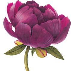 Peony Buckeye Belle - Watercolour by Christine Stephenson - Botanical Artist flower bouquets inspiration flowers peony roses mixed flower bouquet Botanical Drawings, Botanical Prints, Botanical Flowers, Watercolor Flowers, Watercolor Art, Drawing Flowers, Red Flowers, Beautiful Flowers, Large Flowers