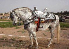 Grey purebred Berber horse