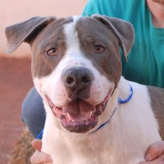 Batman would like to become your lifelong hero, biggest fan, and adoring family member.  He is a big loverboy and unaware of his size when he jumps in your lap or on your shoulders to give you doggie kisses.  Batman is an American Bulldog mix, 3 years young, neutered, and awaiting adoption at Nevada SPCA (www.nevadaspca.org).  He may be compatible with some large and playful dogs.