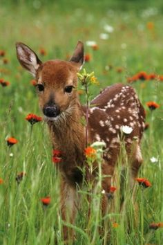 The curious fawn. I had one of these in my yard the other day