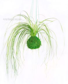 Kokedama hanging moss ball by Artisan Moss. a unique way to display indoor greenery!