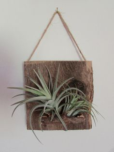 superb wall plant holders. Reclaimed Wood Air Plant Wall Holder by BenInTheBackwoods on Etsy Mounted justinhedgesdesigns  20 00