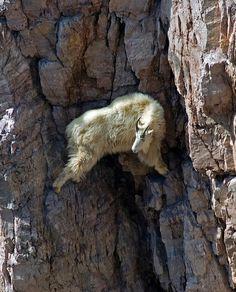 Como una cabra Las cabras fueron domesticadas por el hombre hace unos 10.000 años para aprovechar su carne, su cuero y su leche.  Estos an...