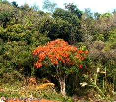 Erythrina falcata - Corticeira.  Flora Digital do Rio Grande do Sul e de Santa Catarina: Erythrina falcata