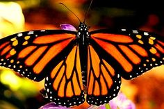 Monarch Butterfly flew here all the way from Mexico.