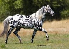 Appaloosa. The origin of the horse comes from the Spanish horses that were bred and selected by the Nez Perce Indians. Probably saw this breed the animal prototype searching for their hunting and war, especially for its color, nobility, versatility and strength of structure. It is one of the best horses in the world to travel longer distances.