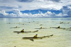 Picture of blacktip reef sharks at Aldabra Atoll, Seychelles
