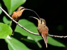 Rabo-branco-rubro_Phaethornis ruber_Brazilian Birds