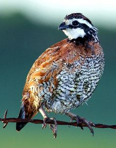 NOT Missouri State Bird.The Bobwhite Quail .The eastern Blue Bird is Missouri state bird! All Birds, Birds Of Prey, Pretty Birds, Beautiful Birds, Raising Quail, State Birds, Backyard Birds, Colorful Birds, Bird Watching