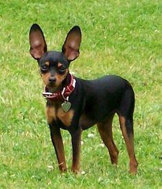 27 Best Miniature Doberman Pinscher Images Doggies Miniature