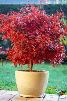 Dwarf Japanese maple trees maintain a deep red color most of the year, and they look great in containers. The Dwarf Japanese maple is small in stature with profuse branching and vivid color. This tree requires little maintenance and medium water, and it does well in full to partial sun. The Dwarf maple is perfect for a patio or small yard.
