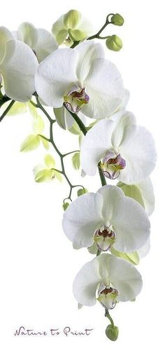 Orchideen-Banner Big White Orchid - New Ideas Phalaenopsis Orchid, Orchid Plants, White Orchids, White Flowers, Orchid Flowers, Big Flowers, Exotic Flowers, Amazing Flowers, Imagen Natural