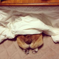 Wow #dog #corgi