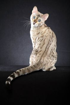Snow Bengal Cat love this breed!