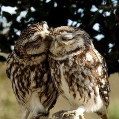 Couple de chouettes                                                                                                                                                                                 Mehr