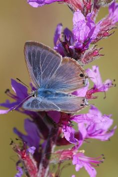 Butterflies: Fuzzy Blue with Brown Tips Butterfly on Bright Purple Flowers Beautiful Bugs, Beautiful Butterflies, Beautiful Flowers, Amazing Nature, Beautiful Images, Butterfly Kisses, Butterfly Flowers, Butterfly Pictures, Blue Butterfly