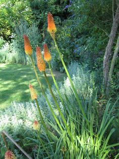 Red hot pokers in the male part of the garden.