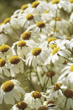 Chamomile is very soothing. This flower calms your stomach, your skin and even your nerves. It can do the same for your kitty. Give it carefully, though, because cats need much, much smaller doses than do humans and even dogs.