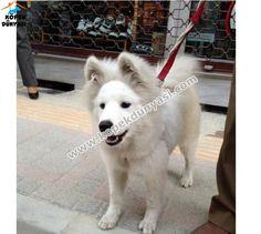 5 aylık dişi samoyed ırkı köpek ücretsiz olarak evlatlık verilecektir. Resimlerde de görüldüğü gibi son derece bakımlı ve güzel bir köpek. Ücretsiz olarak evlatlık verilecektir.... http://www.kopekdunyasi.com/disi-samoyed-evlatlik-verecektir.html
