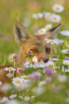 Fox in the Flowers by Jeff Dyck on Flickr Found on flickr.com