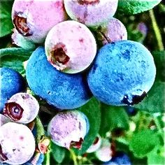 blueberries from my yard