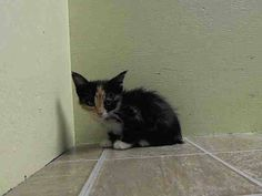 NYACC **URGENT** BEAUTIFUL CALICO BABY ALERT** TO BE DESTROYED 7/13/14 Brooklyn Center  My name is LEIA. My Animal ID # is A1005853. I am a female calico domestic sh mix. The shelter thinks I am about 5 WEEKS old.  I came in the shelter as a STRAY on 07/07/2014 from NY 11423, owner surrender reason stated was STRAY. I came in with Group/Litter#K14-184934.  https://m.facebook.com/photo.php?fbid=829694393709061&id=155925874419253&set=a.576546742357162.1073741827.155925874419253&source=43