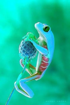 Really Cute Frogs Blue frog real really cute Funny Frogs, Cute Frogs, Reptiles And Amphibians, Mammals, Beautiful Creatures, Animals Beautiful, He's Beautiful, Animals And Pets, Cute Animals