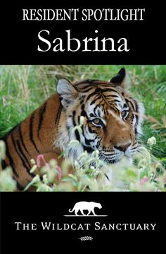 Sabrina & her 2 sons were left to fend for themselves after their owner passed away. It was 10 days before anyone knew the owner had passed or that 3 tigers were baking in the Texas heat with no food and little water. Sabrina had somehow escaped her enclosure & authorities had to sedate her to get her into a travel trailer. Read more about her journey to TWS at http://www.wildcatsanctuary.org/residents/big-cats/tigers/sabrina/