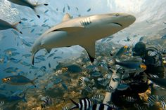 How To Take Kick-Ass Travel Photos With Your GoPro. - Was the GoPro made to video sharks? Shark Diving, Reef Shark, Scuba Diving, Orcas, 6 Photos, Travel Photos, Gopro Photography, Travel Photography, Underwater Photography