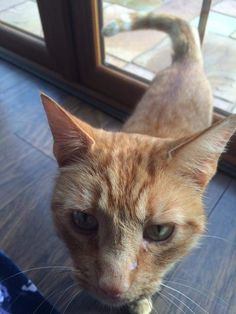 Has anyone lost a ginger Tom cat? He has been coming around our house in Llanharry, Wales for weeks and doesn't seem to be going home. He's wearing a hi-vis collar.