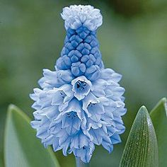 Azure Grape Hyacinth