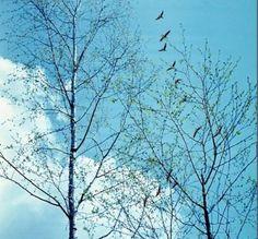 Здесь все поет... И ветви, словно флейты, Неистово пронзают синеву...  А.Дементьев