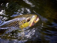 Michigan Trout fishing on the Manistee and Pere Marquette Rivers