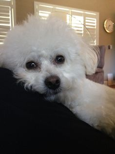 Sweetness my name is Bichon