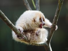 If you like sloths, you'll like the Javan slow loris. | 11 Endangered Animals You Should Get To Know Now